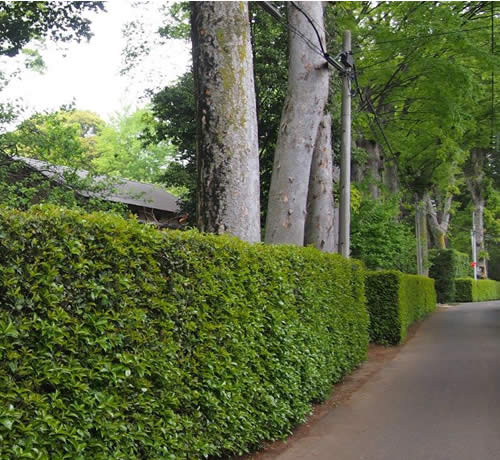 Residential and Commercial Small Tree and Hedge Pruning Services Oklahoma